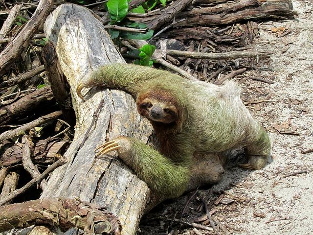 Cancer Sun Taurus Moon woman is lazy like a sloth